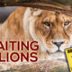 Waiting with Lions